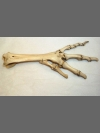 Dodo foot bones by Research: Dodo